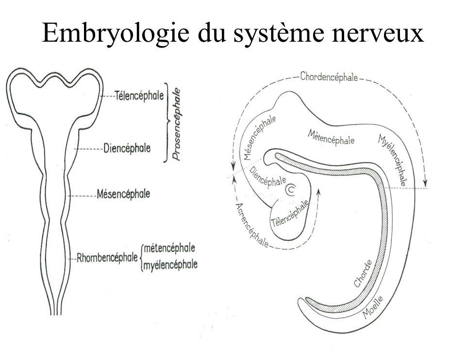 Embryologie du système nerveux