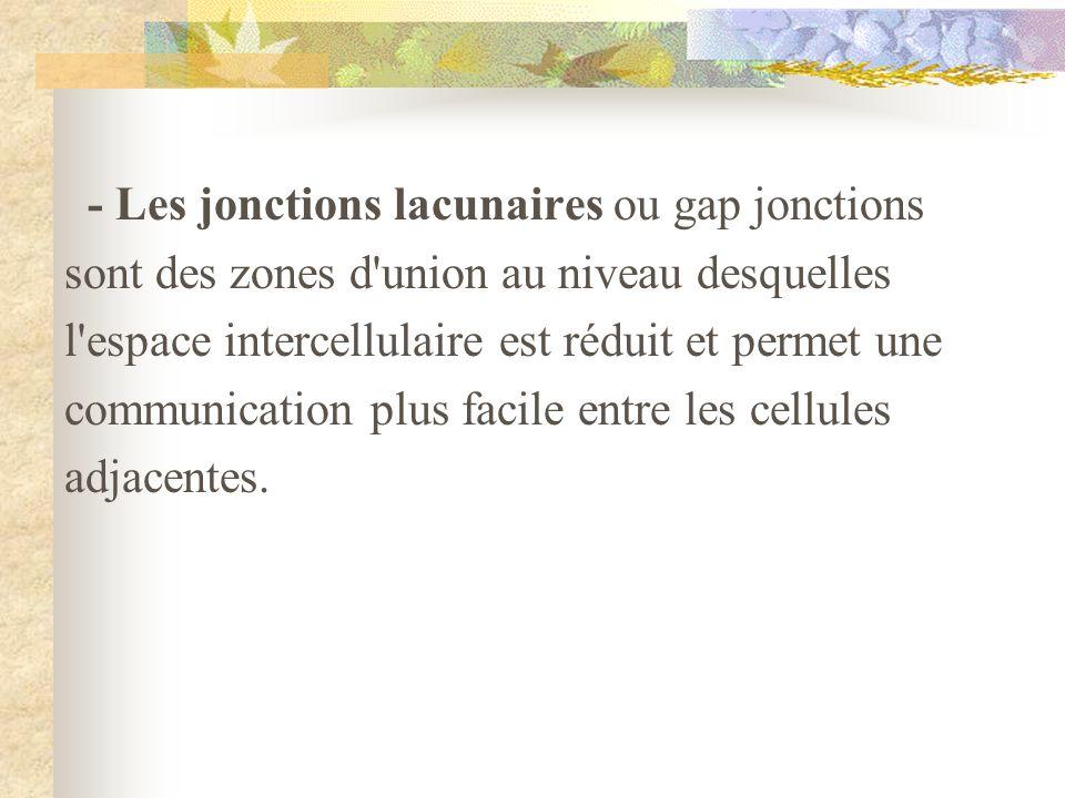 - Les jonctions lacunaires ou gap jonctions