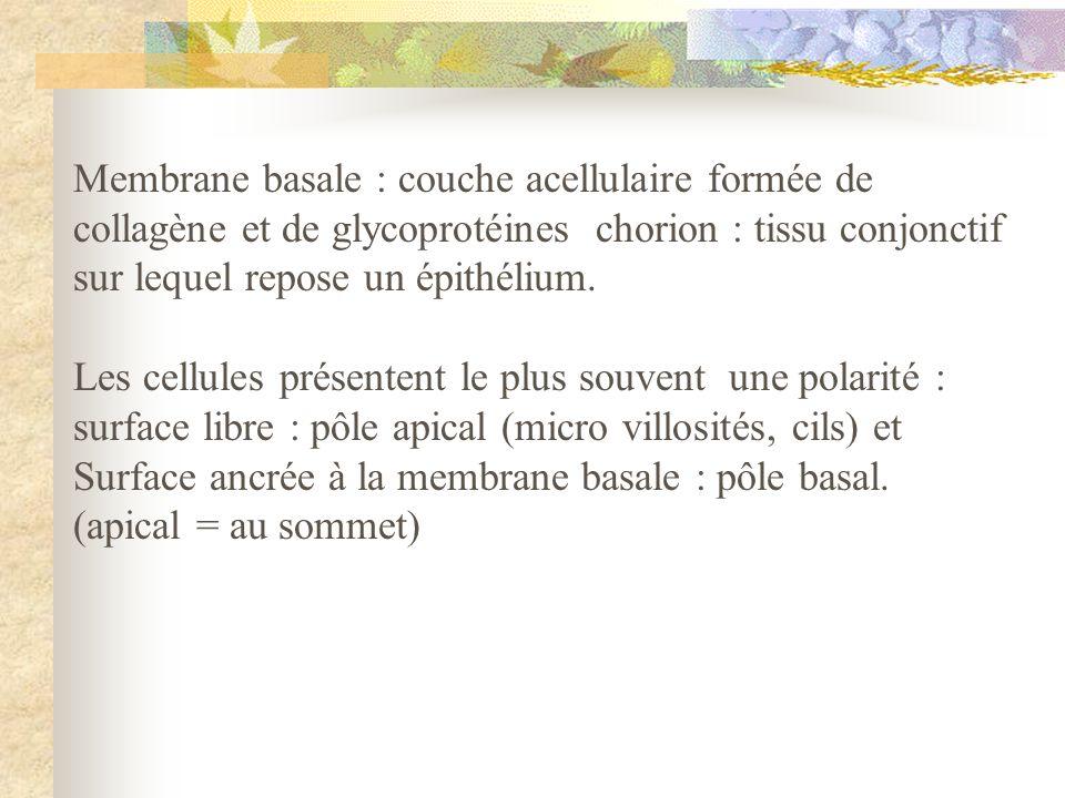 Membrane basale : couche acellulaire formée de