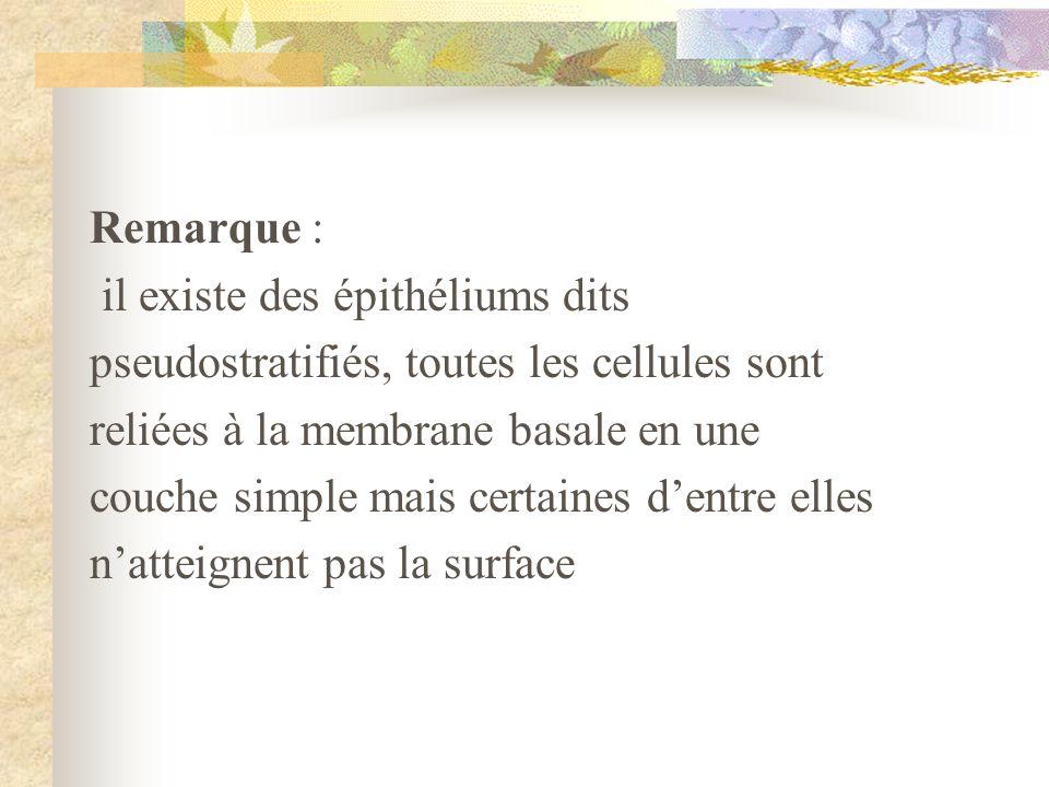 Remarque : il existe des épithéliums dits. pseudostratifiés, toutes les cellules sont. reliées à la membrane basale en une.