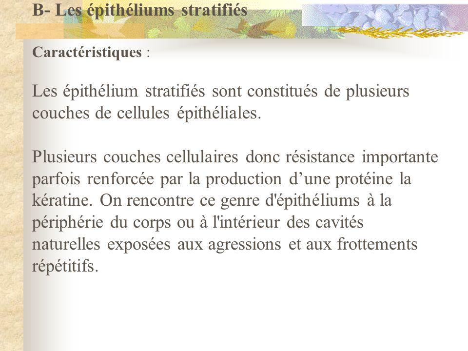 B- Les épithéliums stratifiés