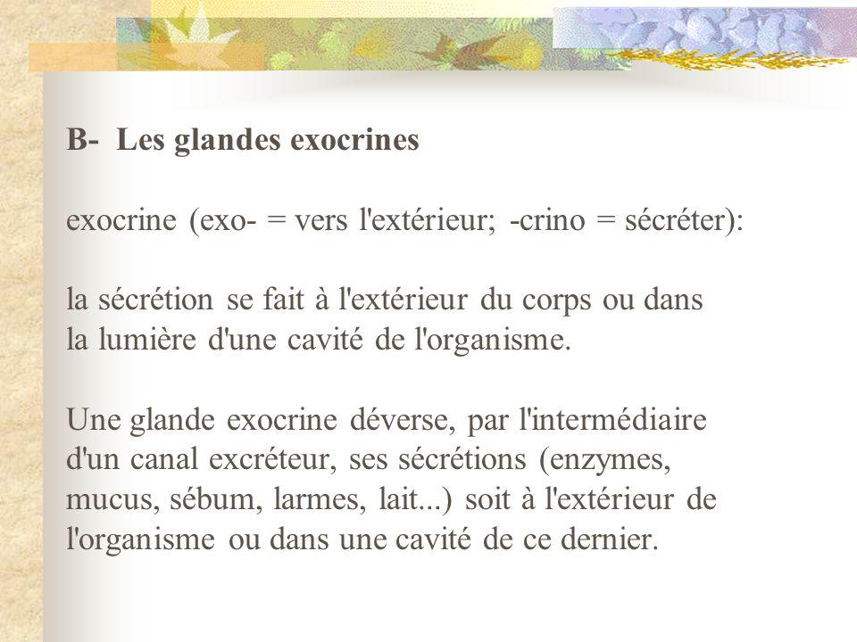 B- Les glandes exocrines