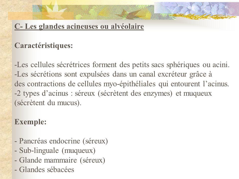C- Les glandes acineuses ou alvéolaire