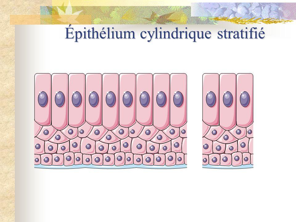 Épithélium cylindrique stratifié