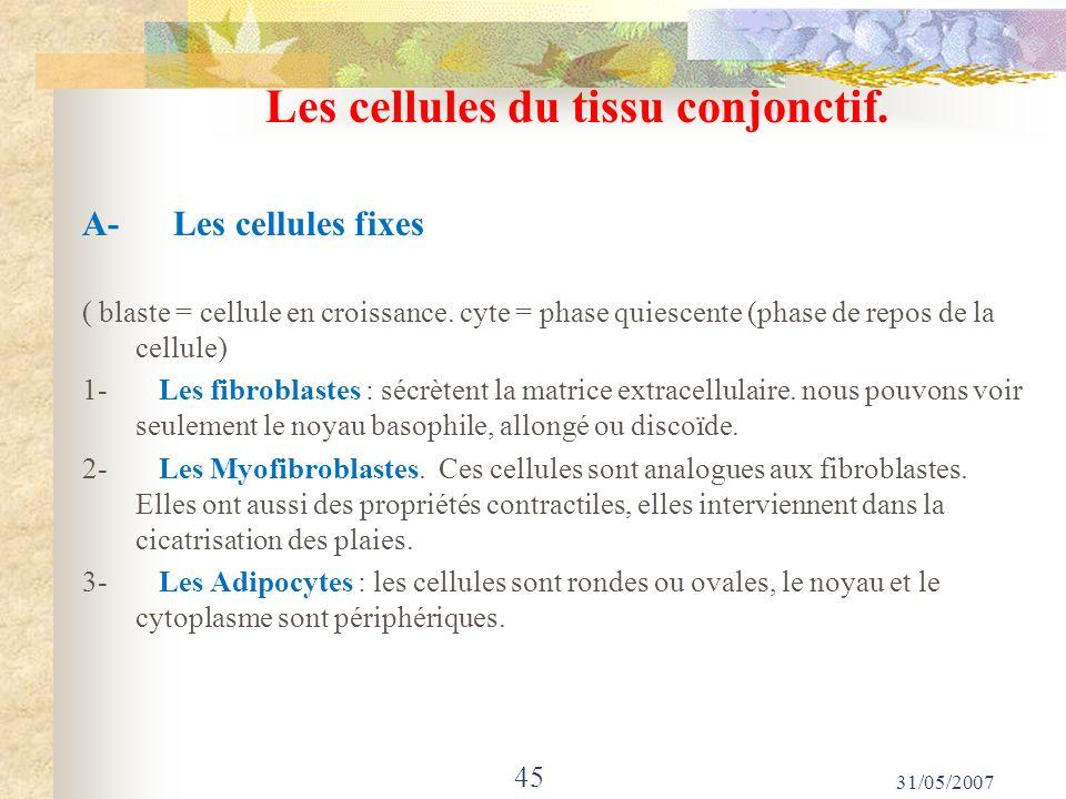 Les cellules du tissu conjonctif.