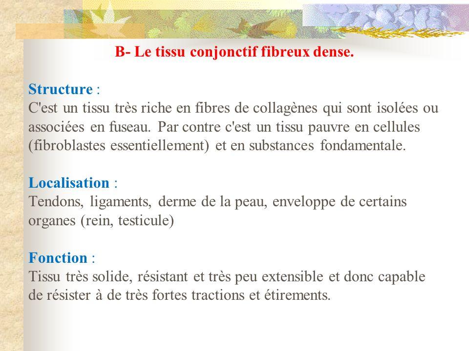 B- Le tissu conjonctif fibreux dense.