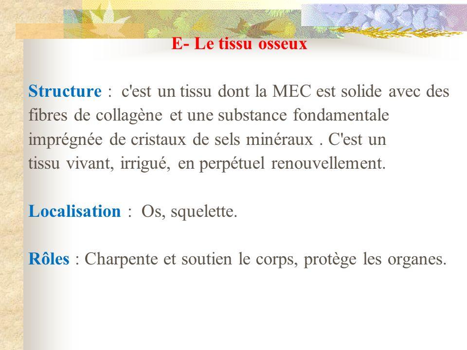 E- Le tissu osseux Structure : c est un tissu dont la MEC est solide avec des. fibres de collagène et une substance fondamentale.