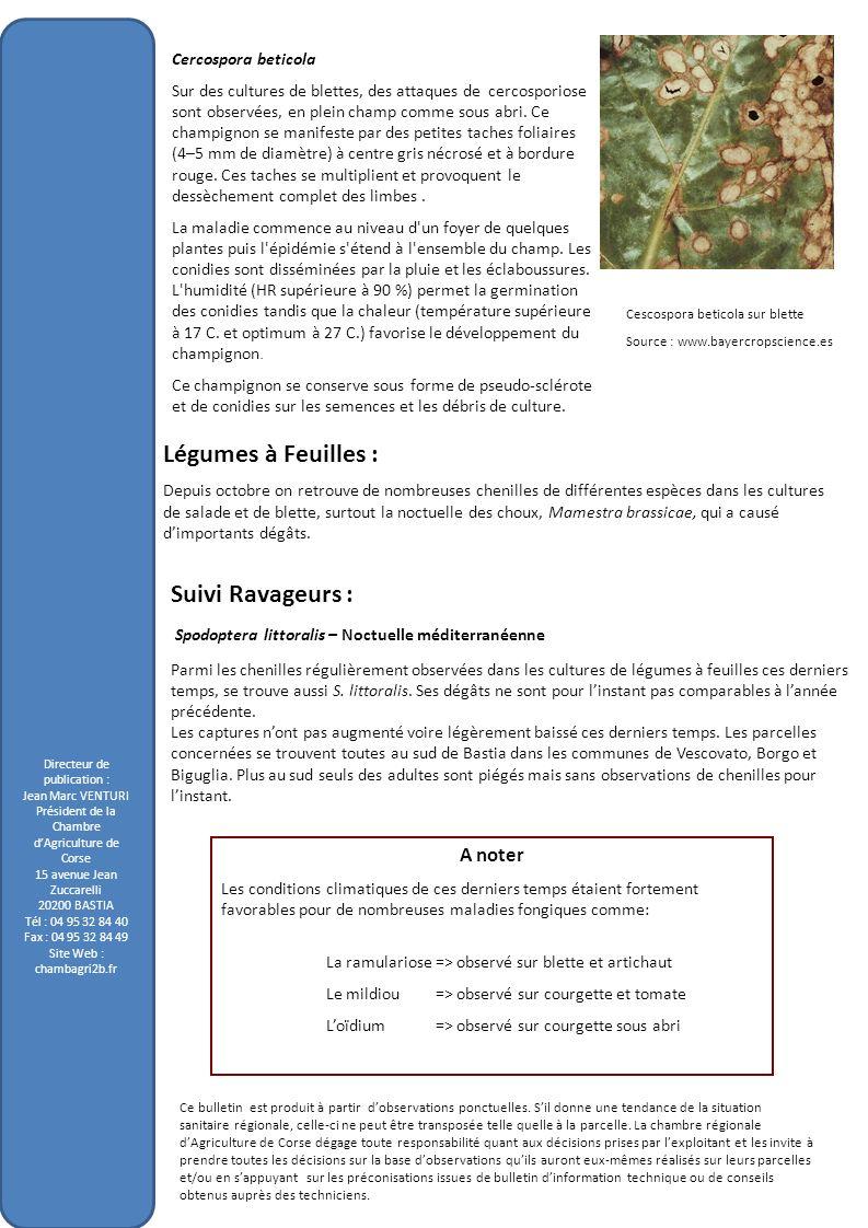 Légumes à Feuilles : Suivi Ravageurs : A noter Cercospora beticola