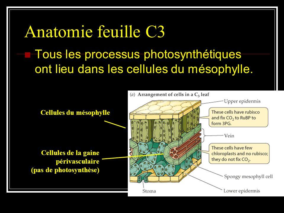 Anatomie feuille C3 Tous les processus photosynthétiques ont lieu dans les cellules du mésophylle. Cellules du mésophylle.