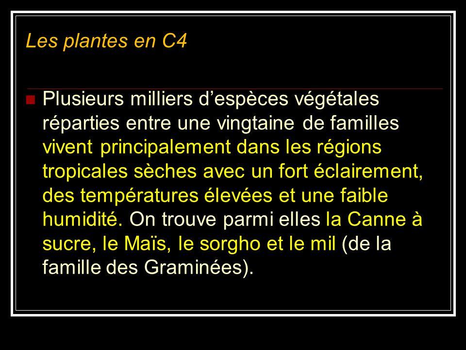 Les plantes en C4
