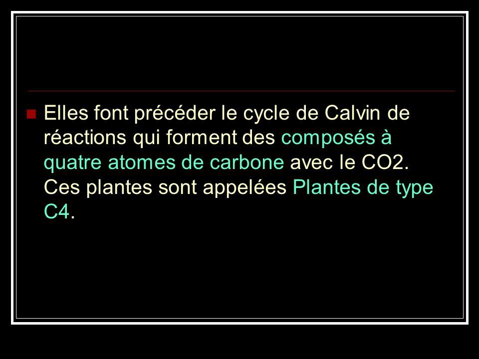 Elles font précéder le cycle de Calvin de réactions qui forment des composés à quatre atomes de carbone avec le CO2.