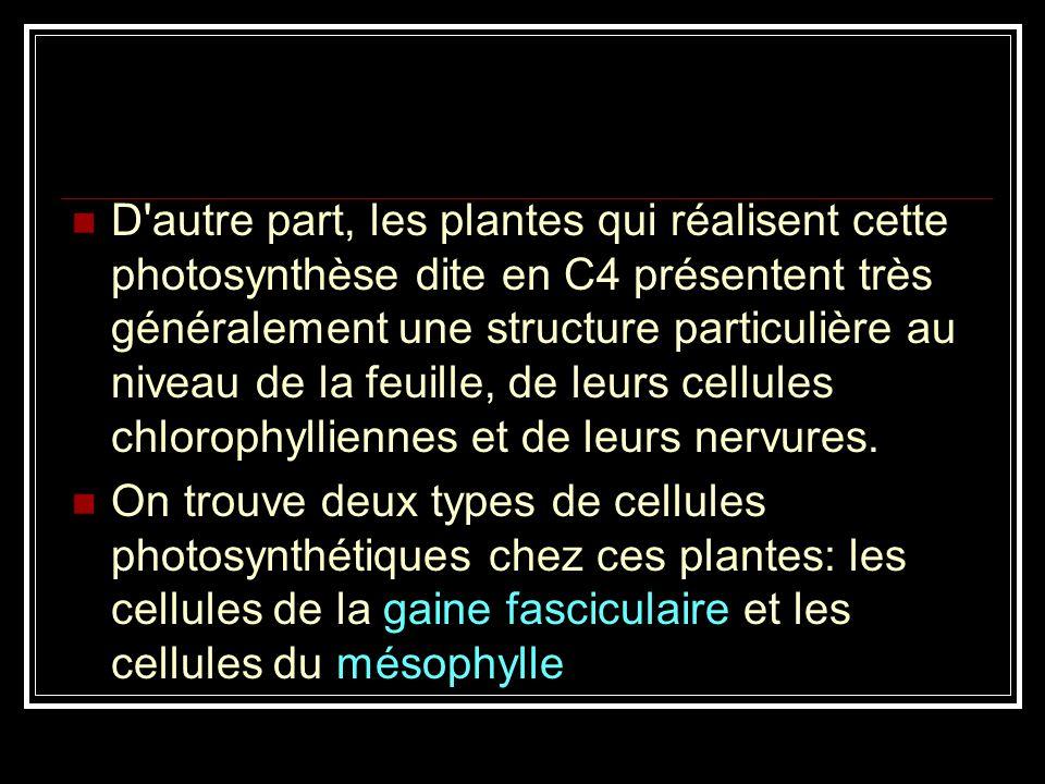 D autre part, les plantes qui réalisent cette photosynthèse dite en C4 présentent très généralement une structure particulière au niveau de la feuille, de leurs cellules chlorophylliennes et de leurs nervures.