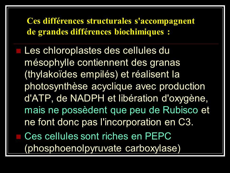 Ces cellules sont riches en PEPC (phosphoenolpyruvate carboxylase)