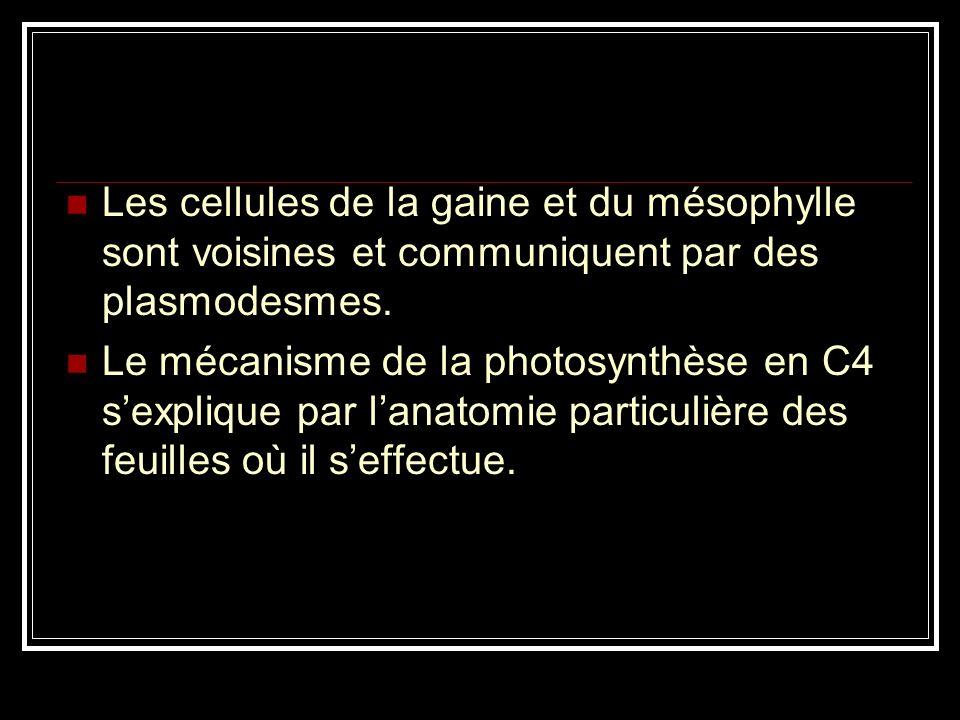 Les cellules de la gaine et du mésophylle sont voisines et communiquent par des plasmodesmes.
