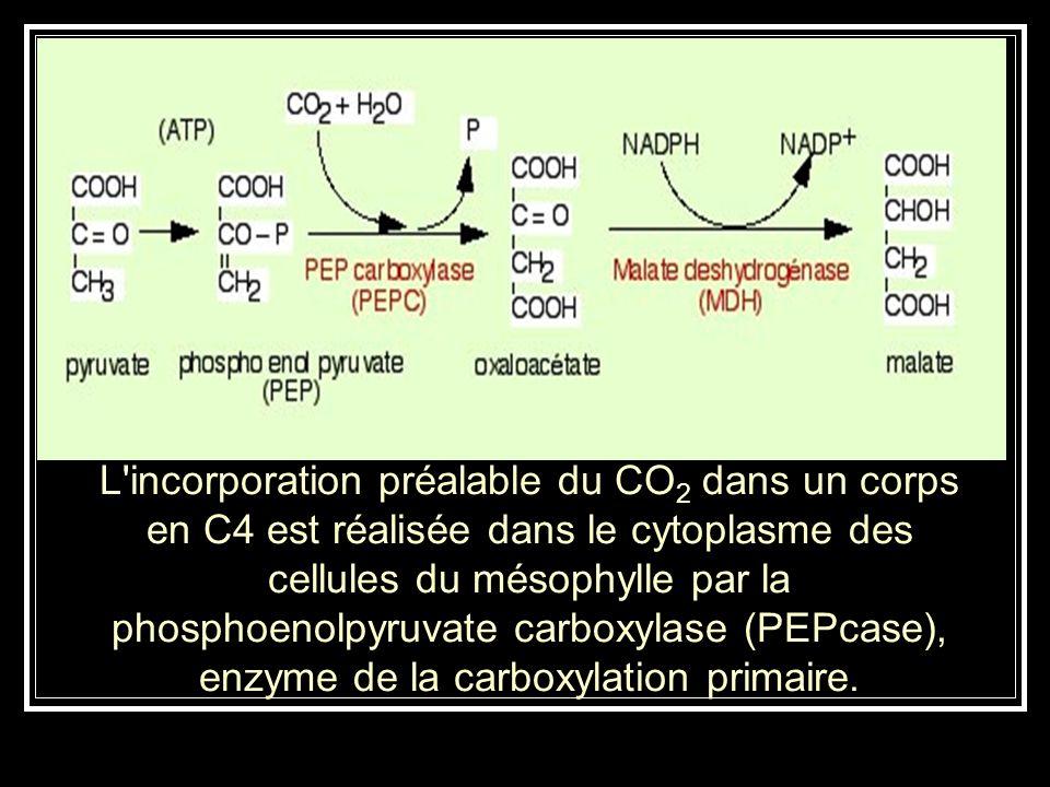 L incorporation préalable du CO2 dans un corps en C4 est réalisée dans le cytoplasme des cellules du mésophylle par la phosphoenolpyruvate carboxylase (PEPcase), enzyme de la carboxylation primaire.