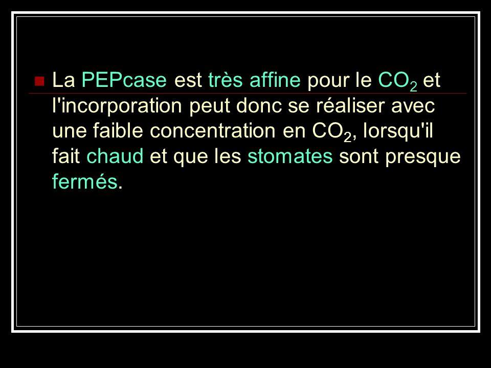 La PEPcase est très affine pour le CO2 et l incorporation peut donc se réaliser avec une faible concentration en CO2, lorsqu il fait chaud et que les stomates sont presque fermés.