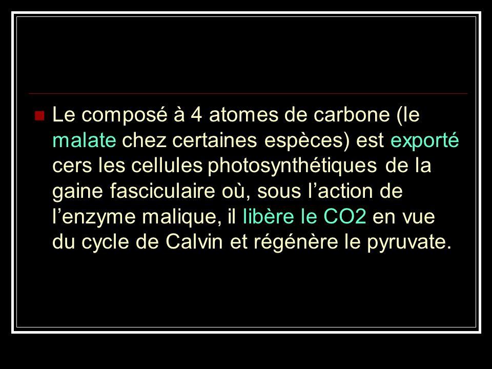 Le composé à 4 atomes de carbone (le malate chez certaines espèces) est exporté cers les cellules photosynthétiques de la gaine fasciculaire où, sous l'action de l'enzyme malique, il libère le CO2 en vue du cycle de Calvin et régénère le pyruvate.