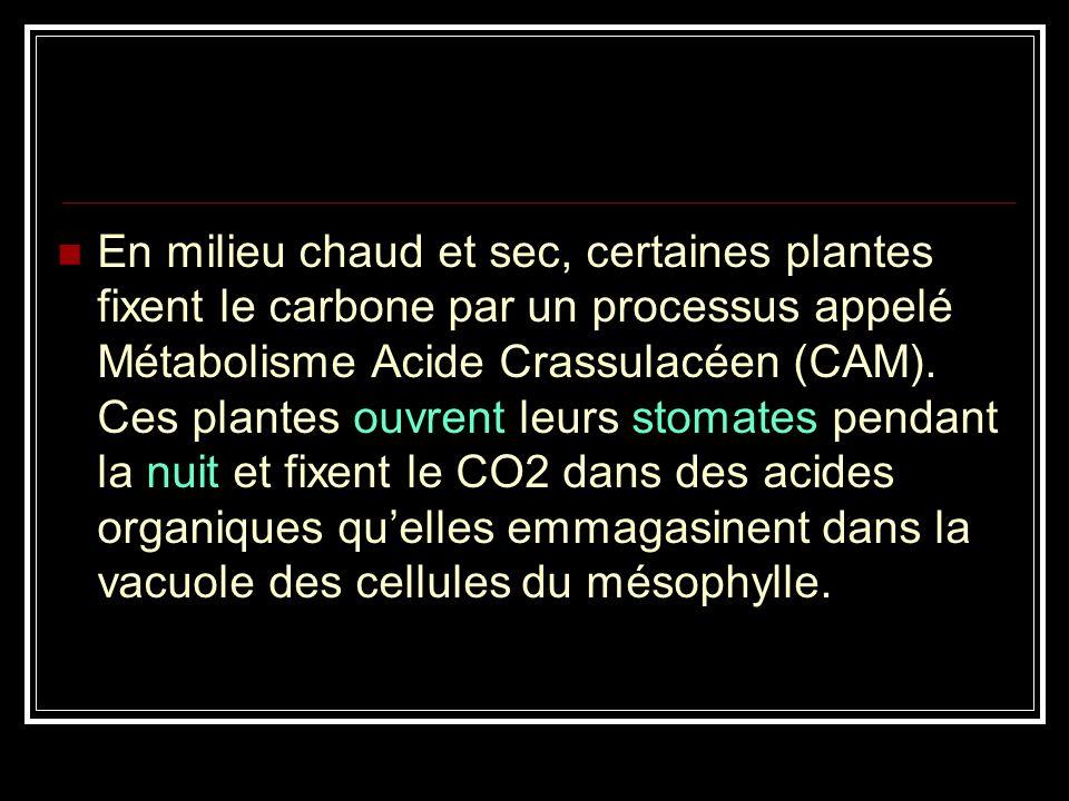 En milieu chaud et sec, certaines plantes fixent le carbone par un processus appelé Métabolisme Acide Crassulacéen (CAM).