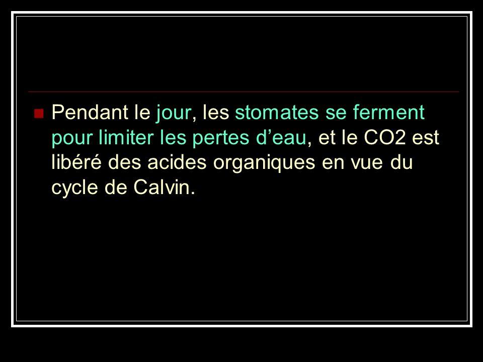 Pendant le jour, les stomates se ferment pour limiter les pertes d'eau, et le CO2 est libéré des acides organiques en vue du cycle de Calvin.