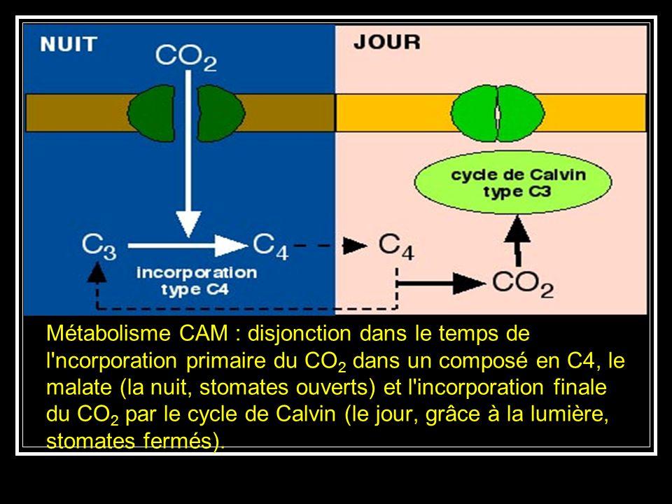 Métabolisme CAM : disjonction dans le temps de l ncorporation primaire du CO2 dans un composé en C4, le malate (la nuit, stomates ouverts) et l incorporation finale du CO2 par le cycle de Calvin (le jour, grâce à la lumière, stomates fermés).