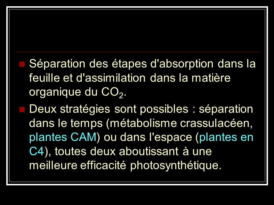 Séparation des étapes d absorption dans la feuille et d assimilation dans la matière organique du CO2.