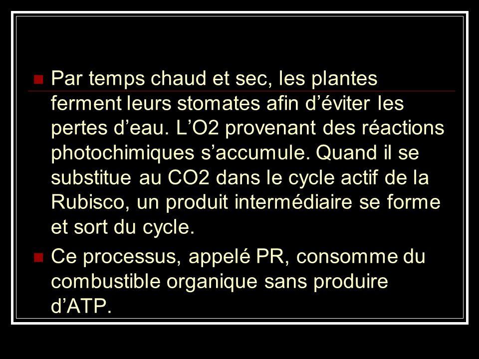 Par temps chaud et sec, les plantes ferment leurs stomates afin d'éviter les pertes d'eau. L'O2 provenant des réactions photochimiques s'accumule. Quand il se substitue au CO2 dans le cycle actif de la Rubisco, un produit intermédiaire se forme et sort du cycle.