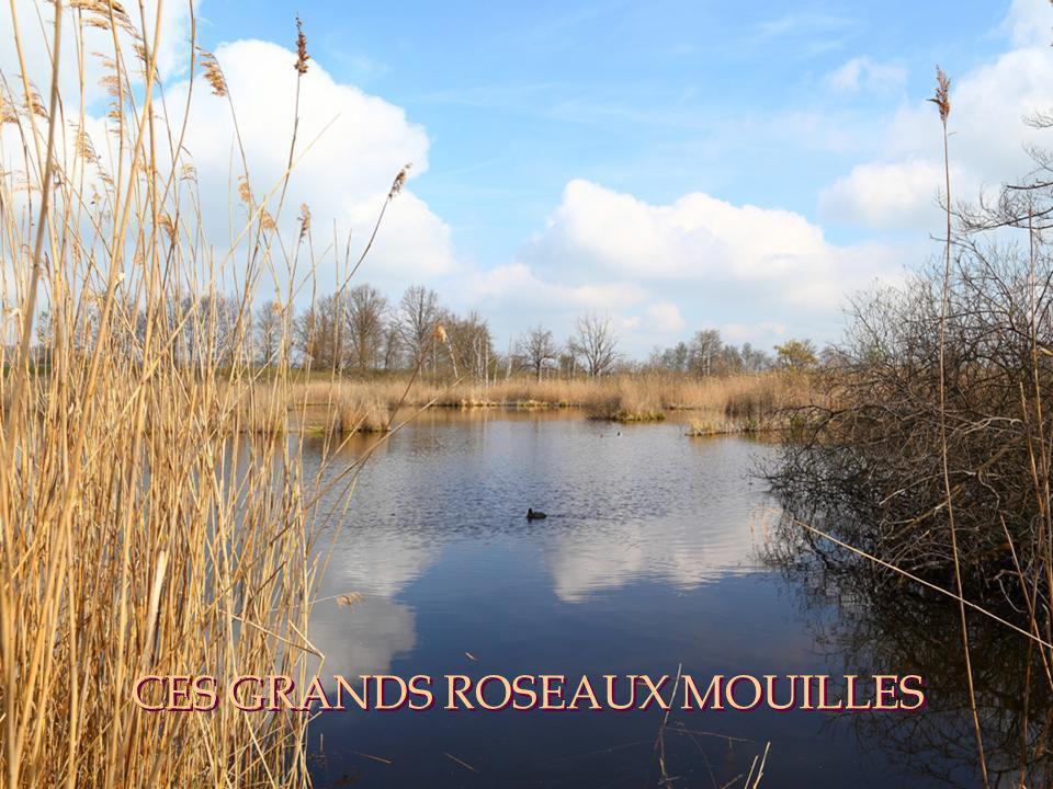 CES GRANDS ROSEAUX MOUILLES