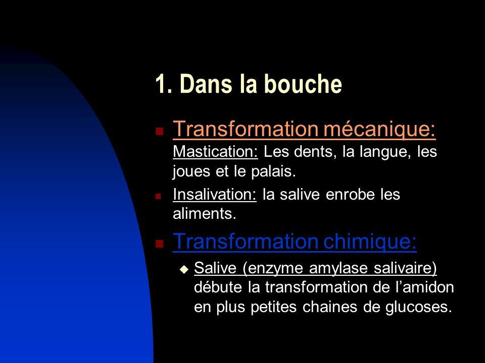 1. Dans la bouche Transformation mécanique: Mastication: Les dents, la langue, les joues et le palais.