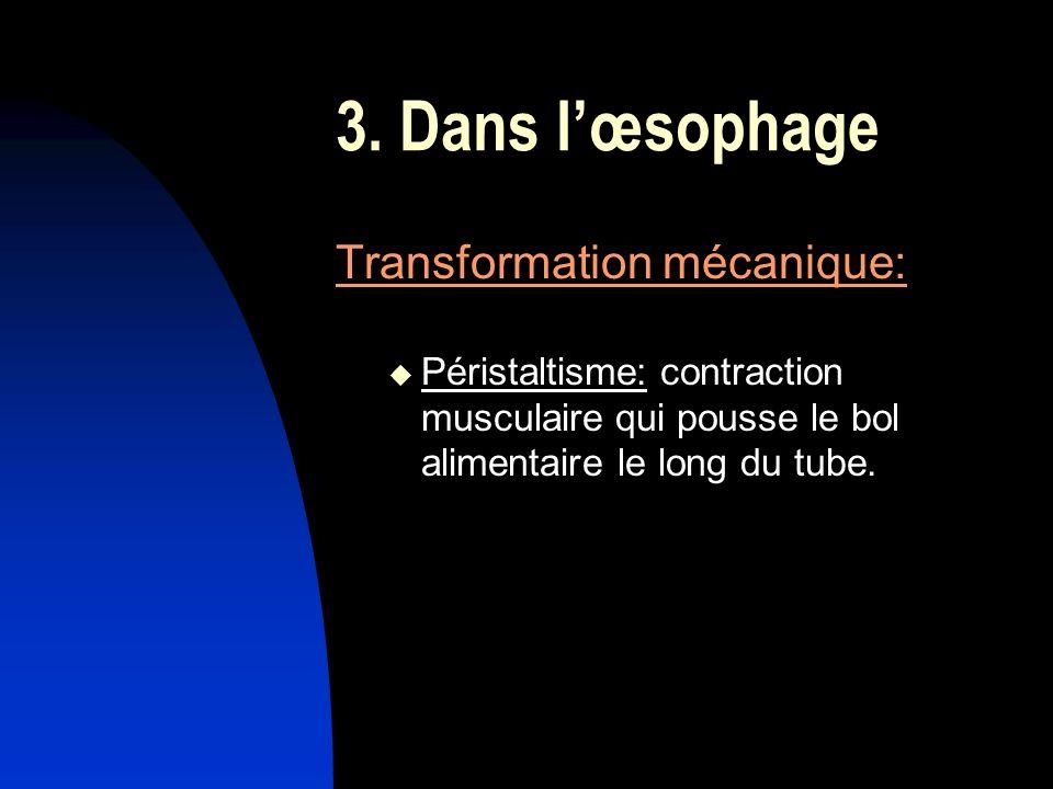 3. Dans l'œsophage Transformation mécanique: