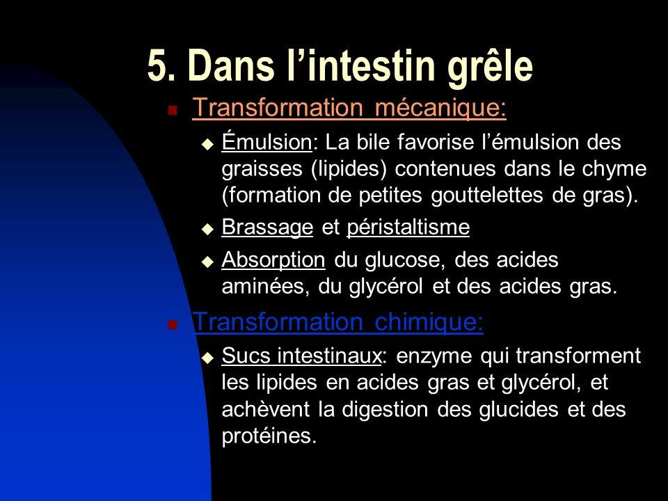 5. Dans l'intestin grêle Transformation mécanique: