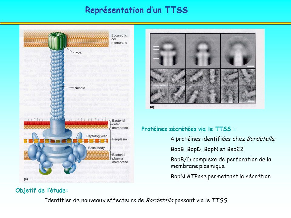 Représentation d'un TTSS