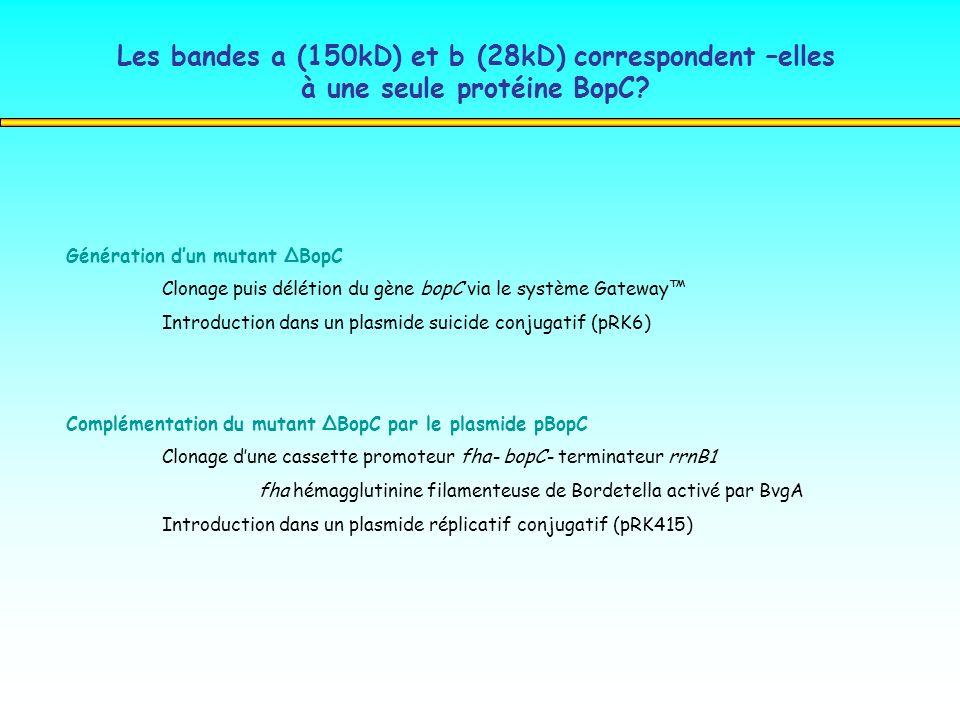 Les bandes a (150kD) et b (28kD) correspondent –elles à une seule protéine BopC