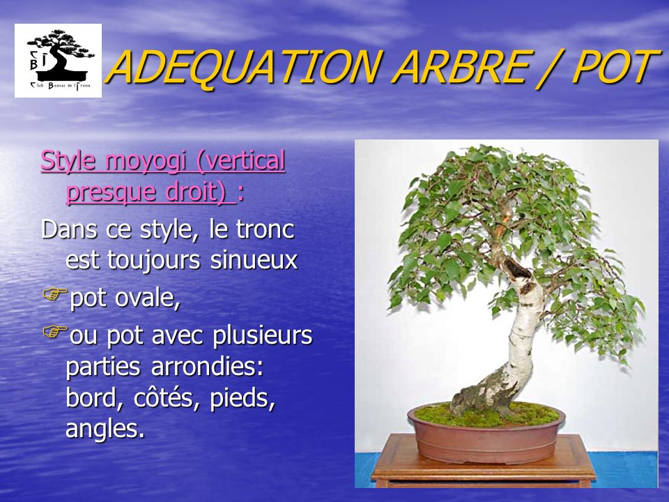 ADEQUATION ARBRE / POT Style moyogi (vertical presque droit) :