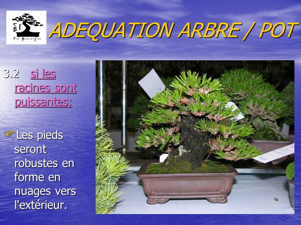 ADEQUATION ARBRE / POT 3.2 si les racines sont puissantes: