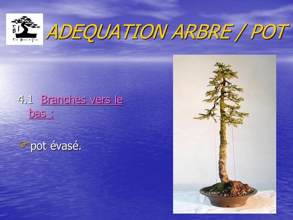 ADEQUATION ARBRE / POT 4.1 Branches vers le bas : pot évasé.