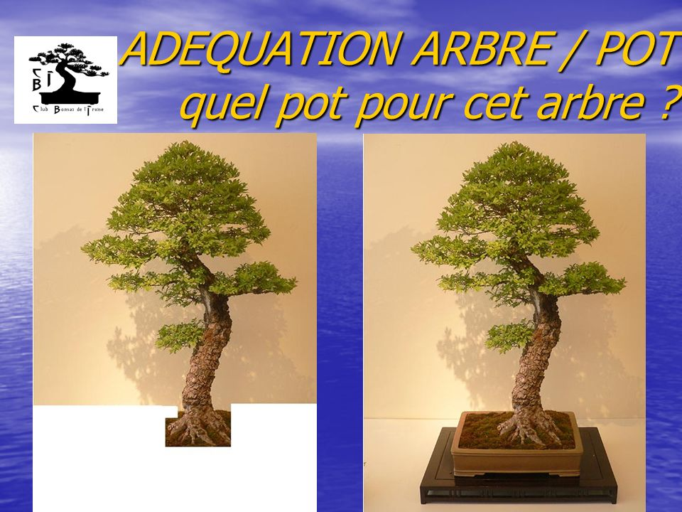 ADEQUATION ARBRE / POT quel pot pour cet arbre
