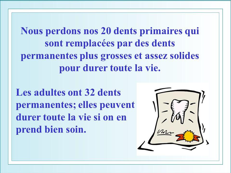 Nous perdons nos 20 dents primaires qui sont remplacées par des dents permanentes plus grosses et assez solides pour durer toute la vie.