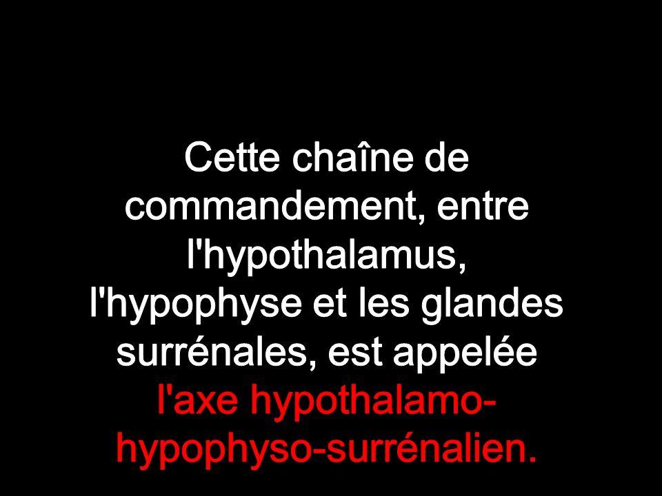 Cette chaîne de commandement, entre l hypothalamus, l hypophyse et les glandes surrénales, est appelée l axe hypothalamo-hypophyso-surrénalien.
