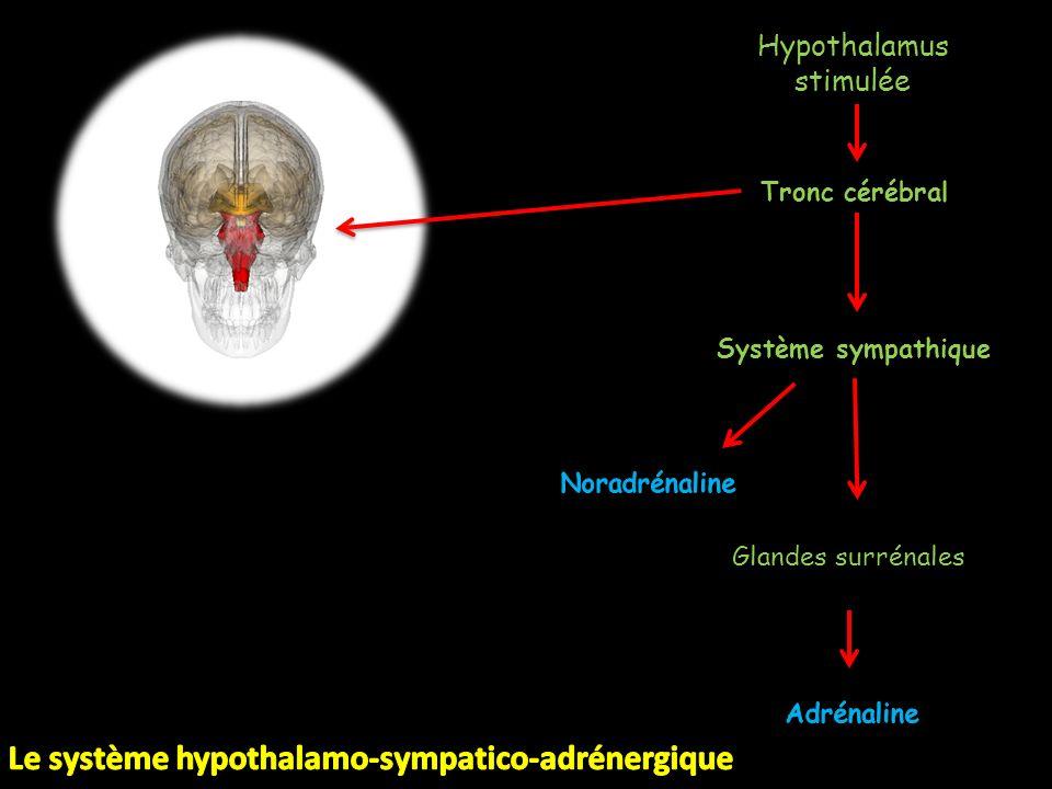 Le système hypothalamo-sympatico-adrénergique