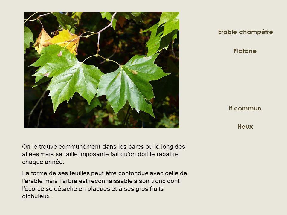 Erable champêtre Platane. If commun. Houx.