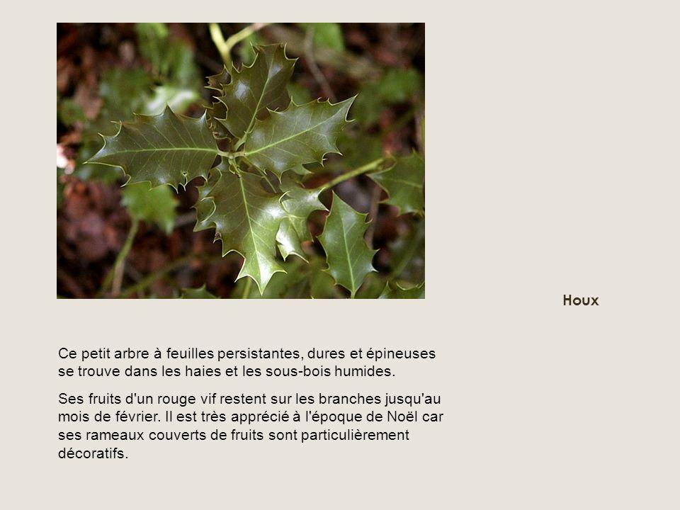 Houx Ce petit arbre à feuilles persistantes, dures et épineuses se trouve dans les haies et les sous-bois humides.