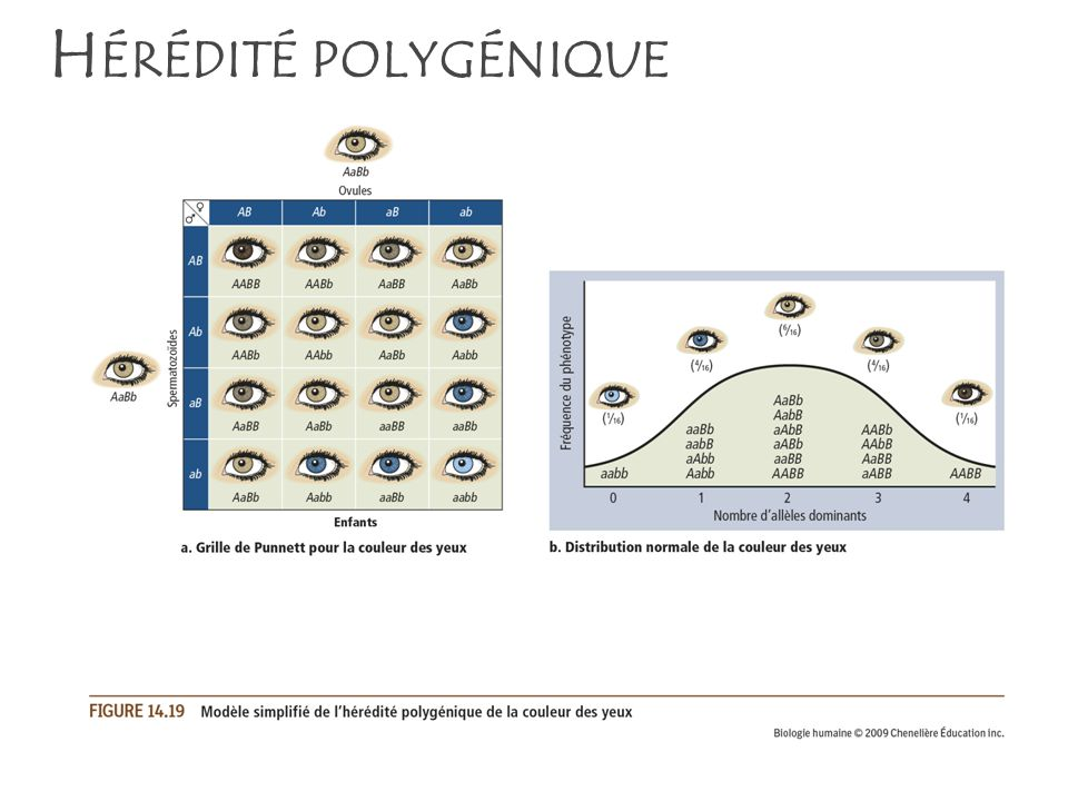 Hérédité polygénique