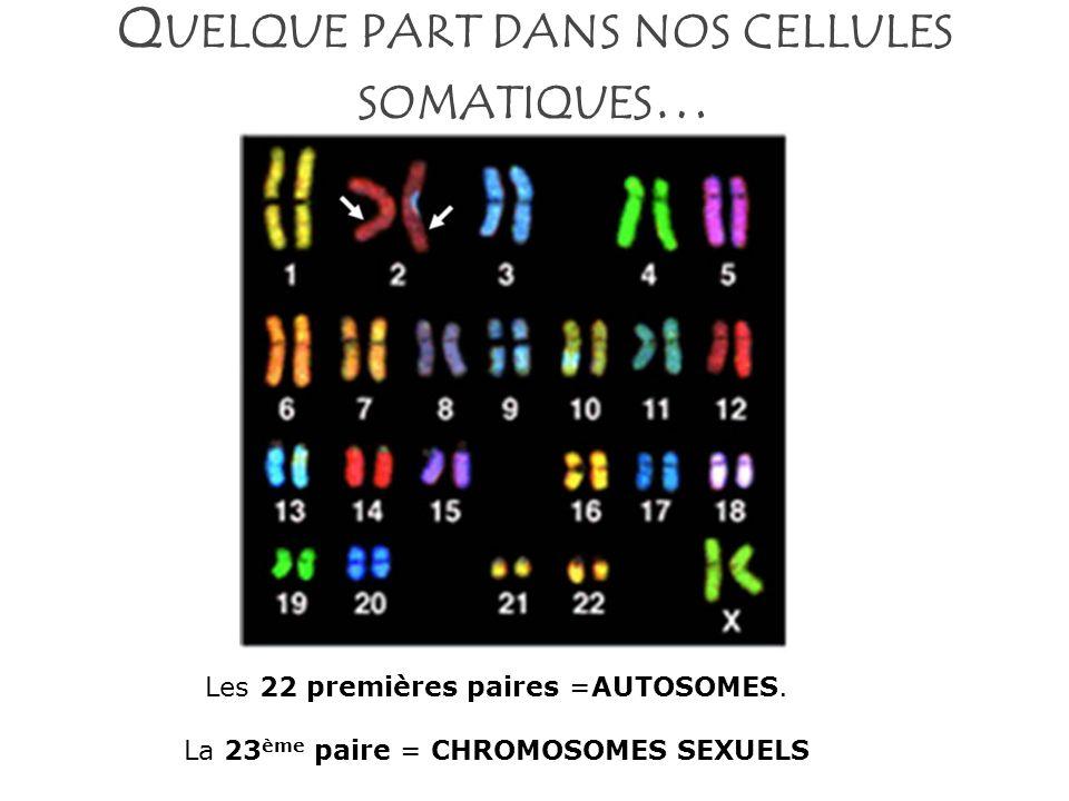 Quelque part dans nos cellules somatiques…