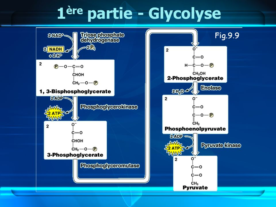 1ère partie - Glycolyse Fig.9.9