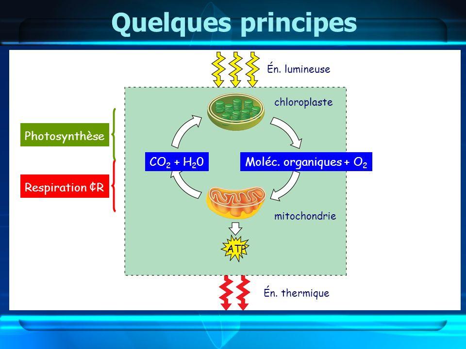 Quelques principes Photosynthèse CO2 + H20 Moléc. organiques + O2