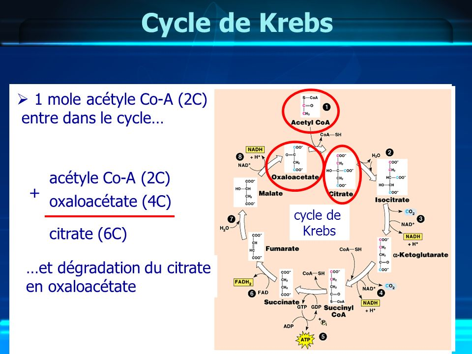 Cycle de Krebs 1 mole acétyle Co-A (2C) entre dans le cycle…