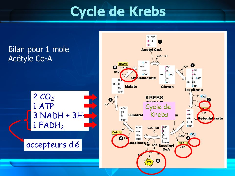 Cycle de Krebs Bilan pour 1 mole Acétyle Co-A 2 CO2 1 ATP 3 NADH + 3H+