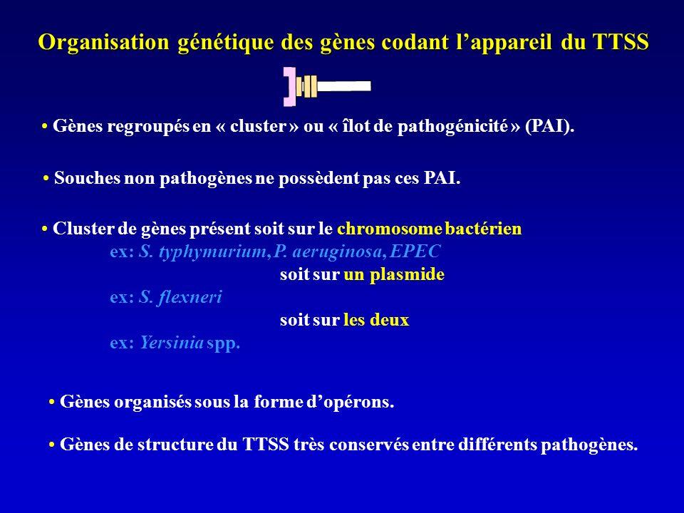 Organisation génétique des gènes codant l'appareil du TTSS