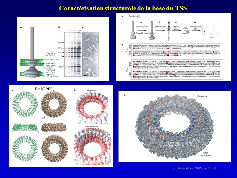 Caractérisation structurale de la base du TSS