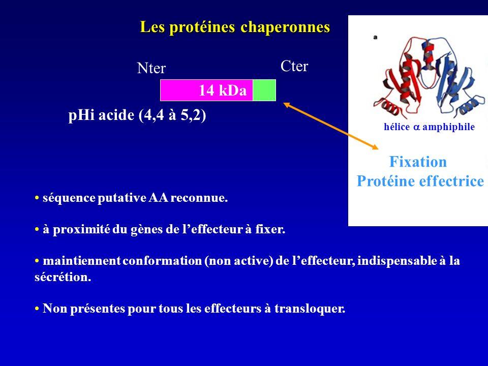 Les protéines chaperonnes